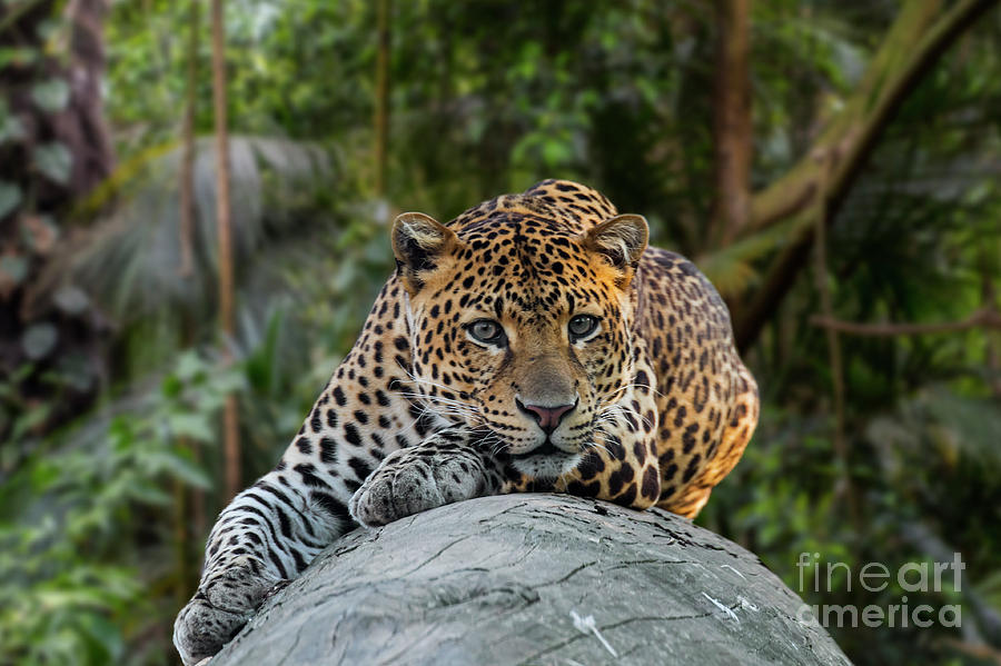 Leopard in Rainforest by Arterra Picture Library