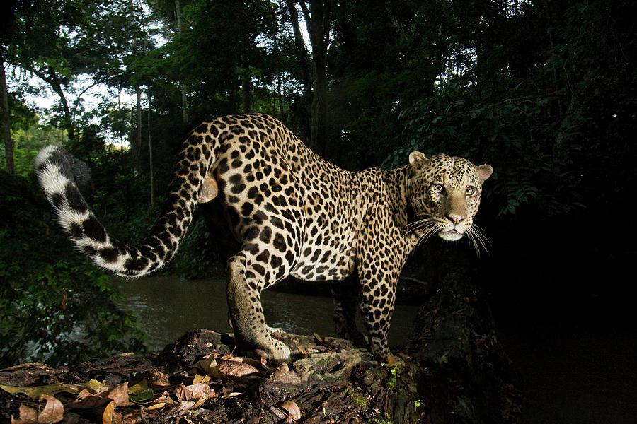 Leopard In Rainforest, Gabon Photograph by Sebastian Kennerknecht