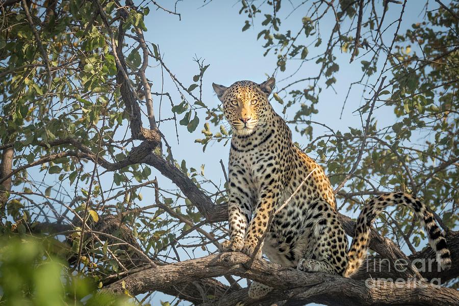 Leopard In Tree 8 by Timothy Hacker