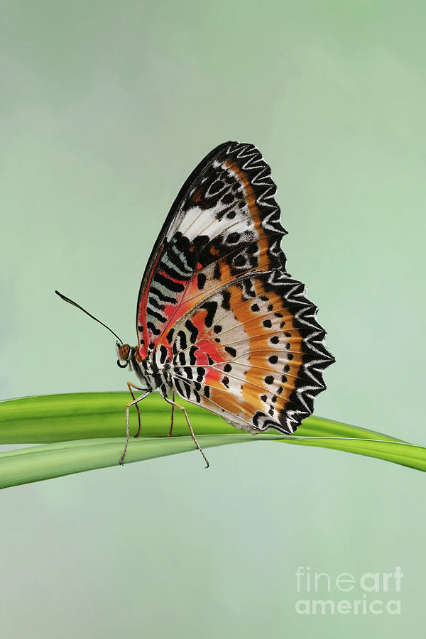 Leopard Lacewing Butterfly #3 V2 by Judy Whitton