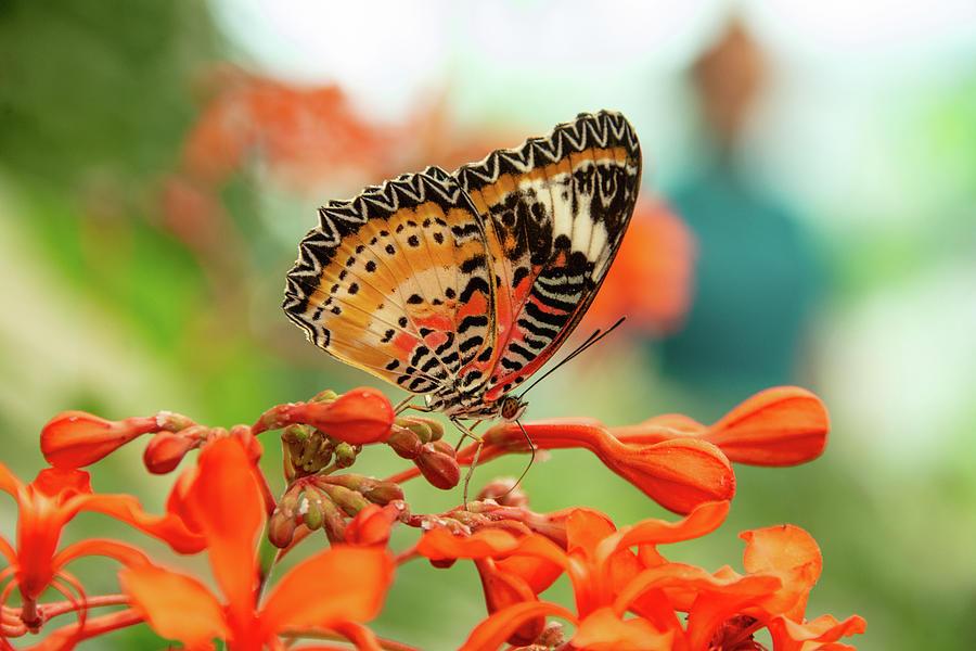 Leopard Lacewing Butterfly by Jennifer Wick