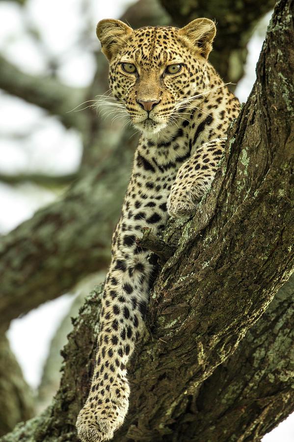 Leopard, Ndutu Plains, Tanzania Photograph by Paul Souders
