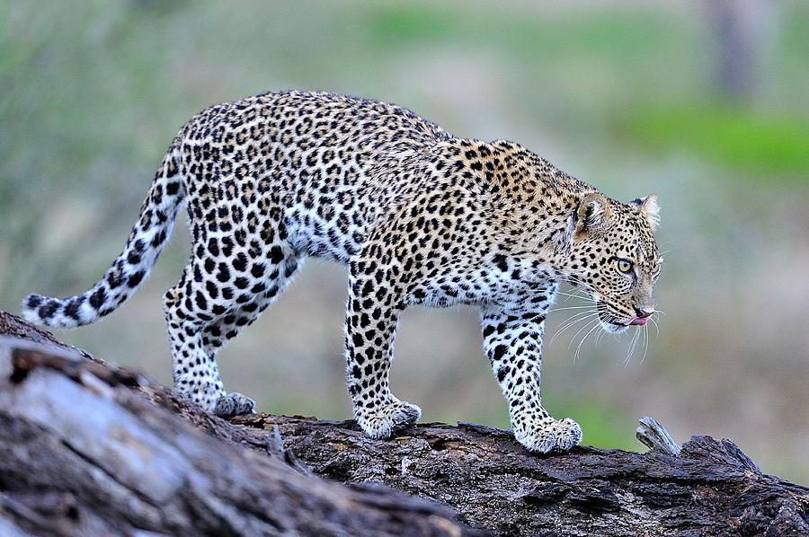 Leopard, Ndutu, Tanzania Photograph by Diana Robinson Photography