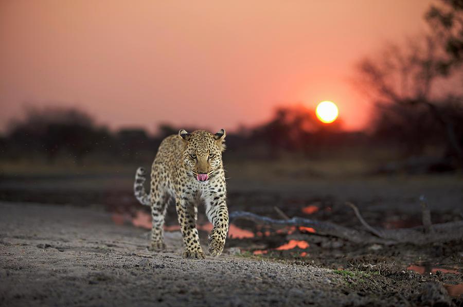 Leopard Panthera Pardus  Licking Lips Photograph by Heinrich Van Den Berg