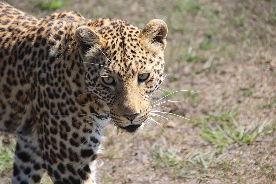 Leopard by Pat Moore