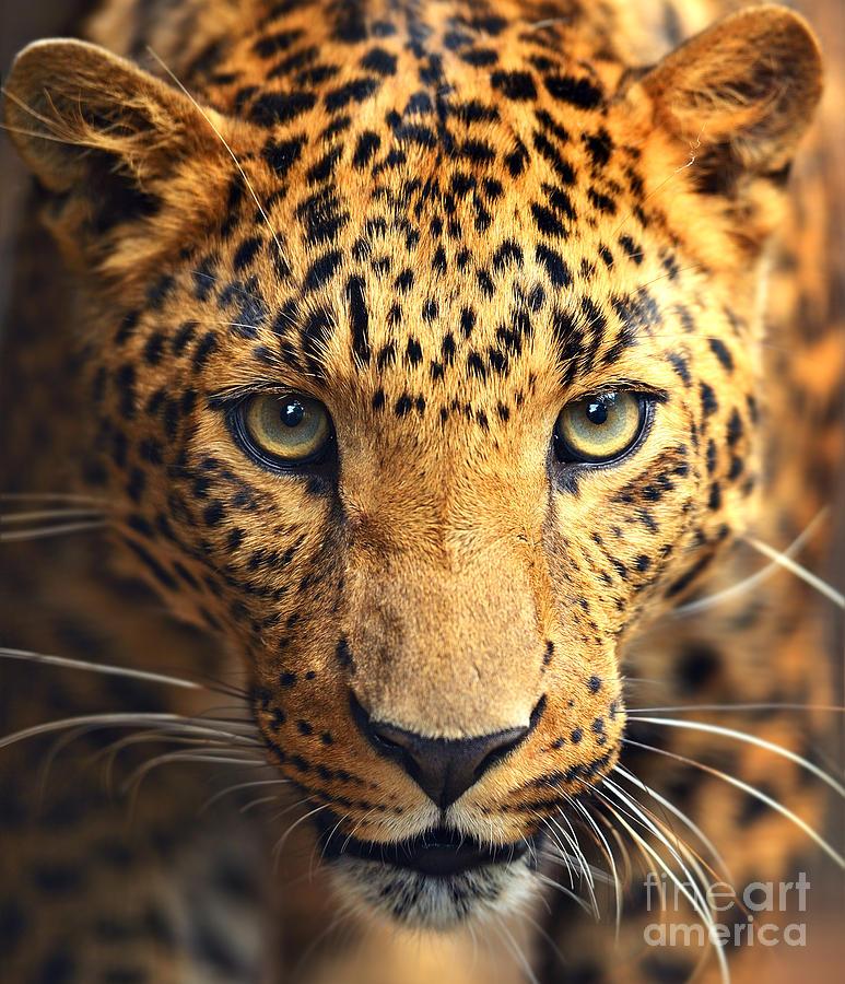 Big Photograph - Leopard Portrait by Kyslynskahal
