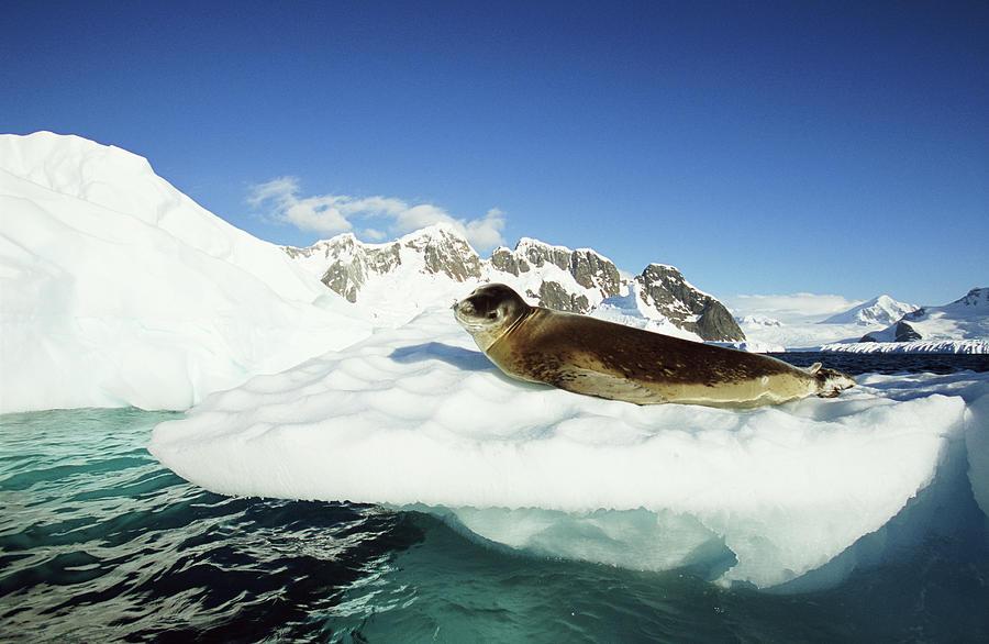 Leopard Seal Hydrurga Leptonyx On Ice Photograph by Eastcott Momatiuk
