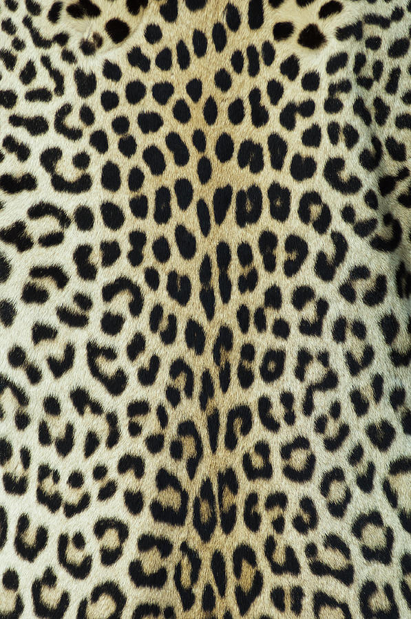 Leopard Skinhide Photograph by Herkisi