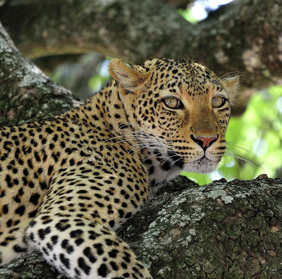 Leopard Watchful Photograph by Wild Africa Nature