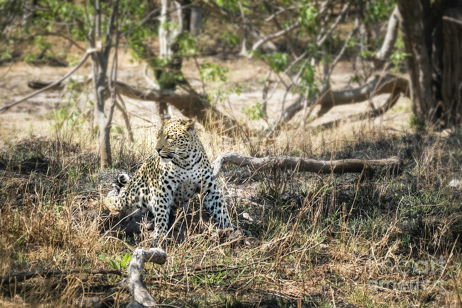 Leopard With Meal 1 by Timothy Hacker