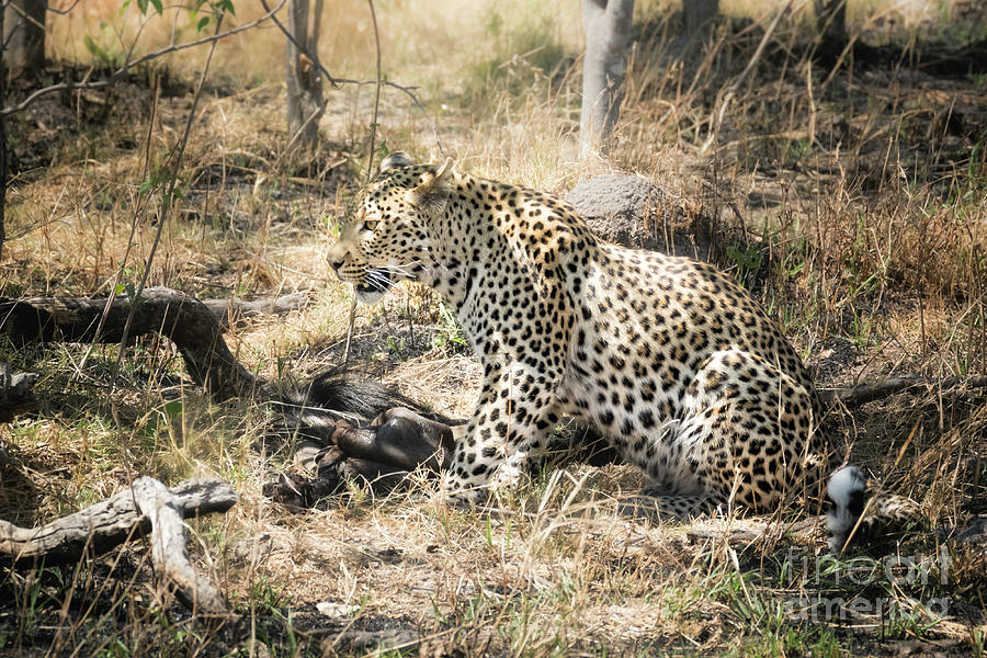 Leopard With Meal by Timothy Hacker