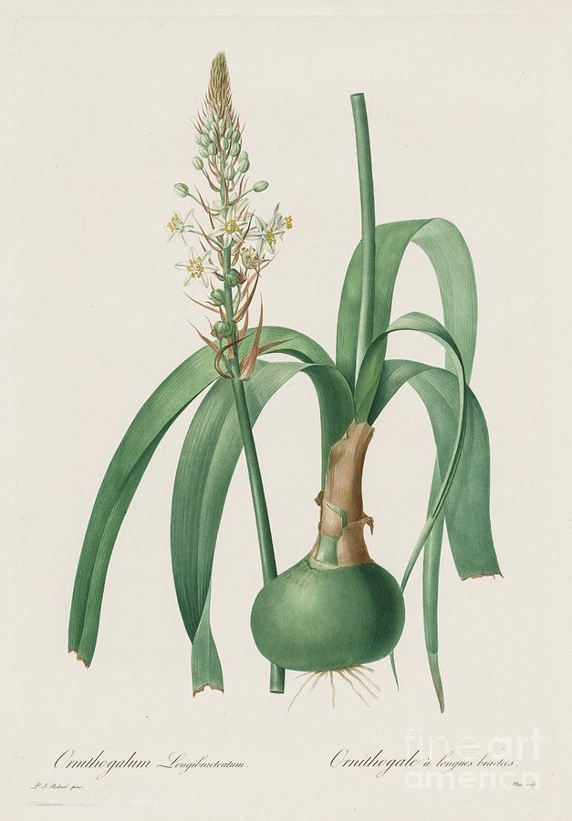 Les Liliacées Ornithogalum Drawing by Heritage Images