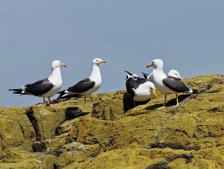 Lesser Black-Backed Gulls by Jeff Townsend