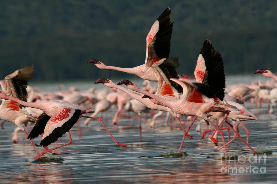 Africa Photograph - Lesser Flamingos At Lake Nakuru by Steffen Foerster