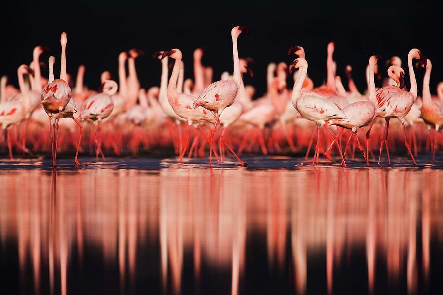 Lesser Flamingos  Phoenicopterus Ruber Photograph by Jami Tarris