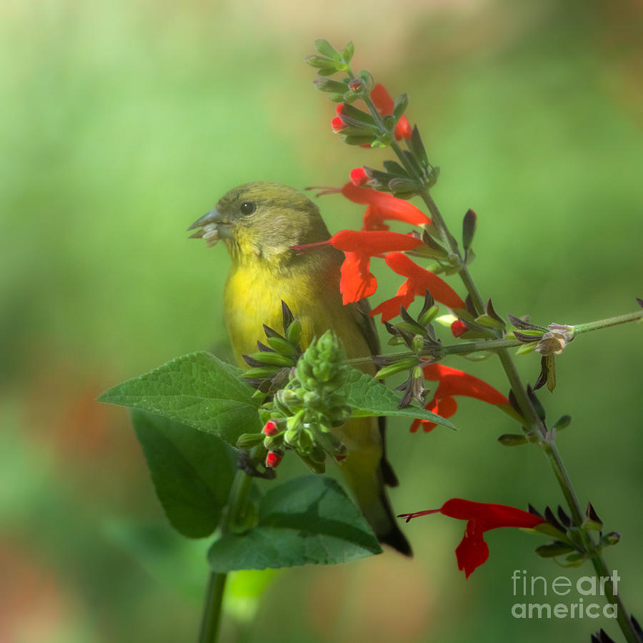 Lesser GoldFinch in the Garden by Lisa Manifold