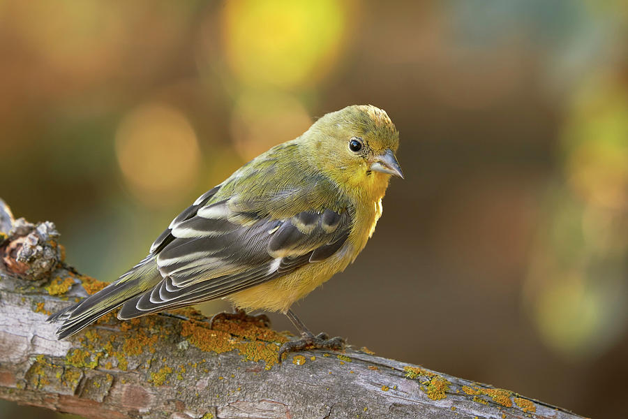 Birds Photograph - Lesser Goldfinch, Sacramento County California by Doug Herr