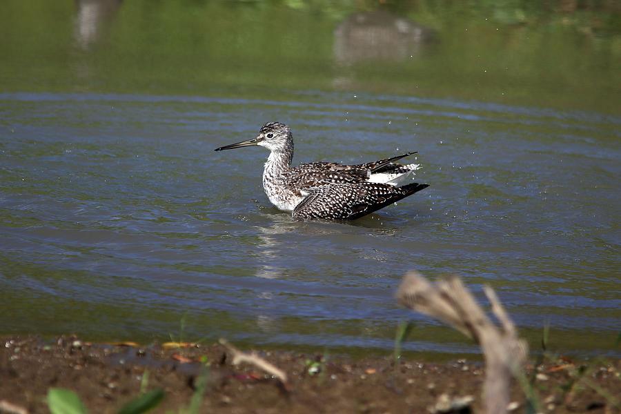 Lesser Yellowlegs Splash Photograph