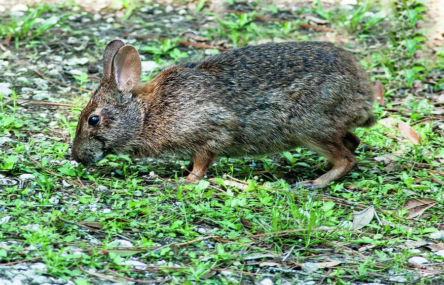 Marsh Rabbit Photograph - Lettuce Lake Rabbit by Norman Johnson