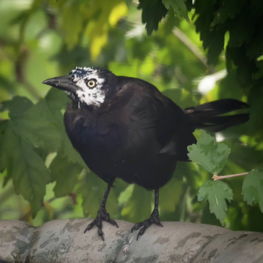 Leucism Grackle by Terry DeLuco