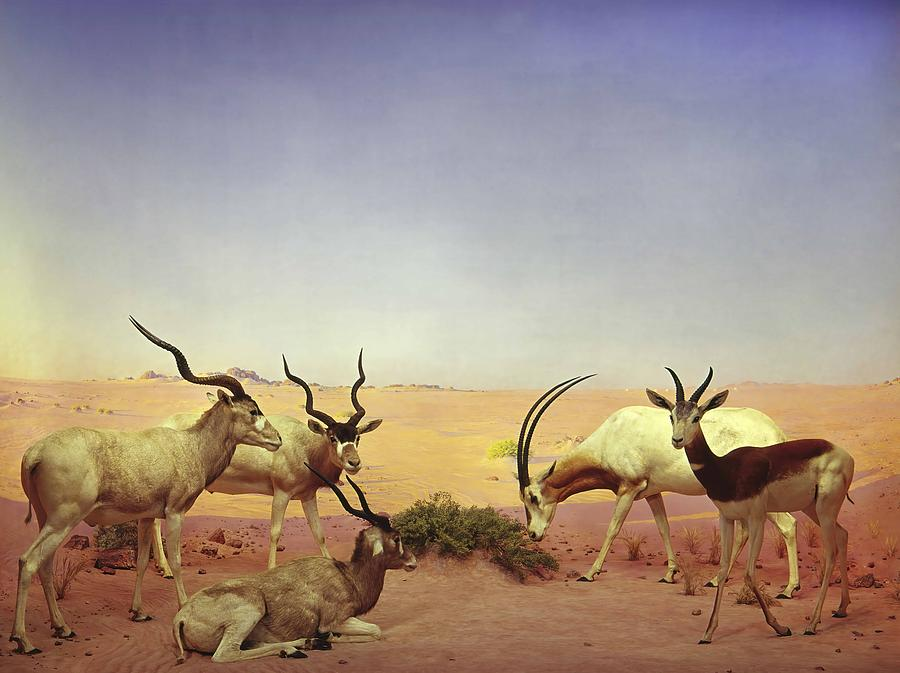 Libyan Desert Diorama In The Akeley Hall Of African Mammals by Anonymous