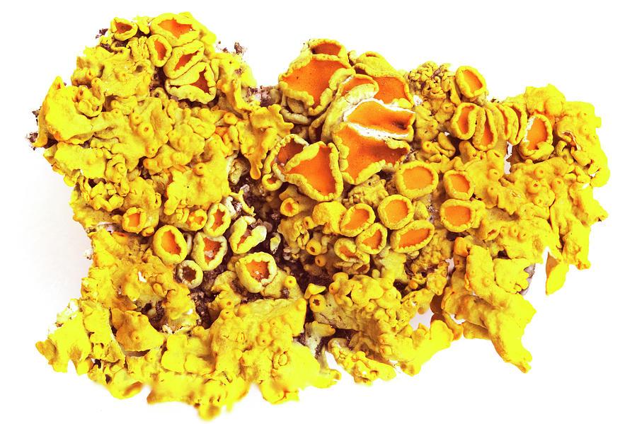 Lichen Caloplaka marina by Paul Cowan