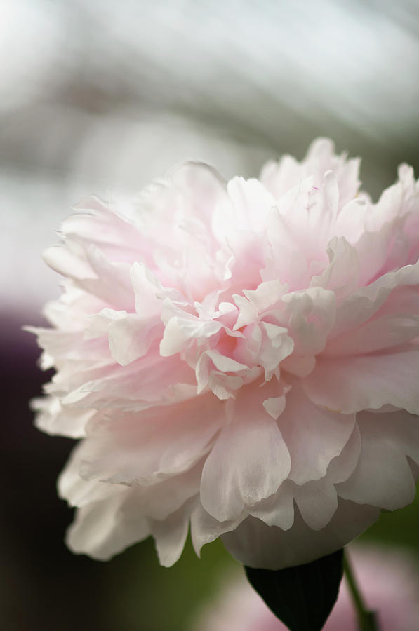Rockville Photograph - Light Pink Peony Flower Paeonia by Maria Mosolova