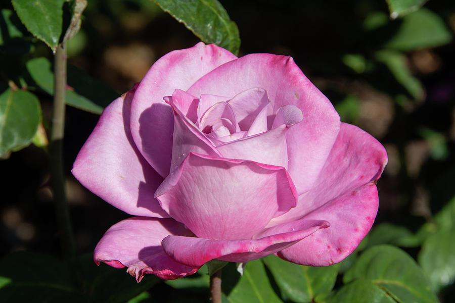 Light Purple Paradise Rose Photograph