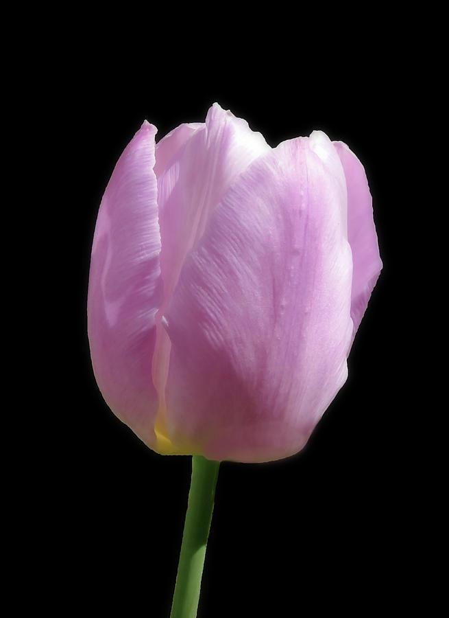 Light Soft Pink Whisper Of The Garden Tulip by Johanna Hurmerinta