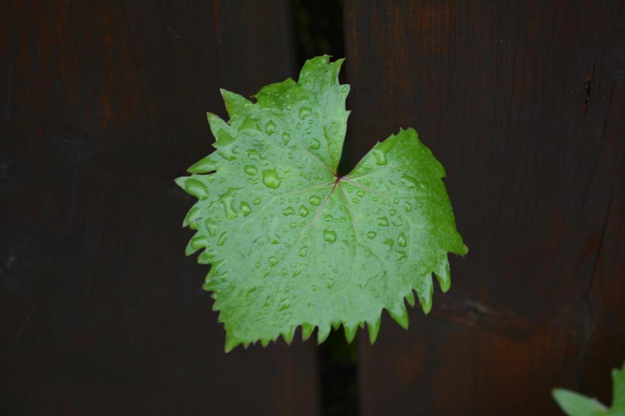 Ligularia rain drops by Norman Burnham