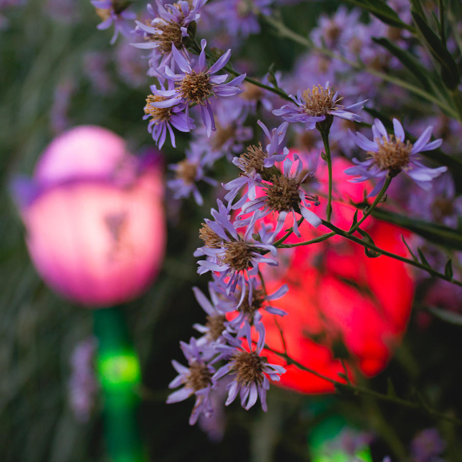Lilac Photograph - Lilac Aster And Light by Christine Buckley