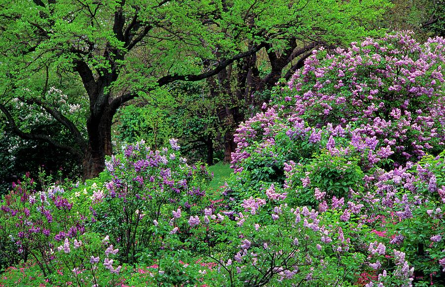 Lilac At Arnold Arboretum Photograph by Richard Felber