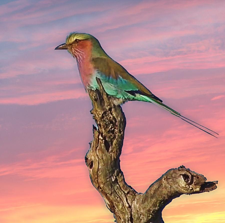 Lilac Breasted Roller by Gini Moore