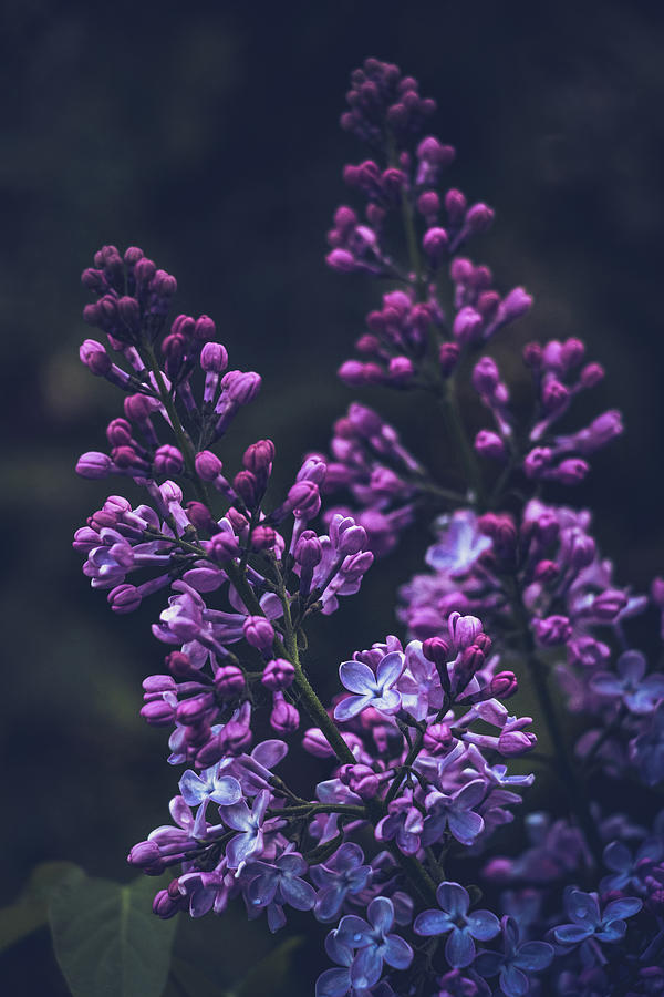 Lilac in early bloom by Cristina Stefan