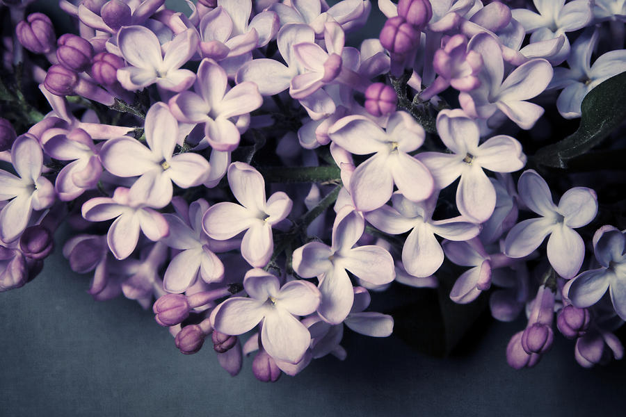 Lilac No. 9 by Allison Trentelman