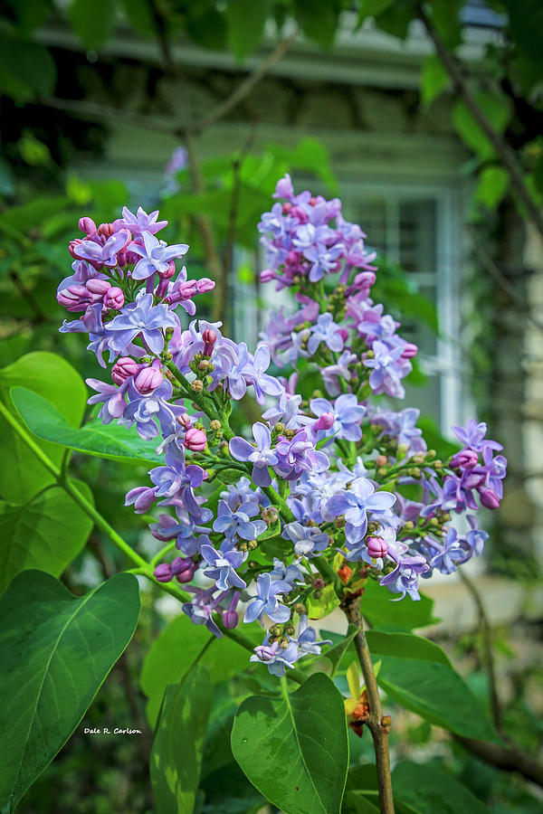 Lilac Scent by Dale R Carlson