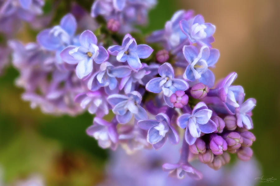 Lilacs Painted by Anna Louise