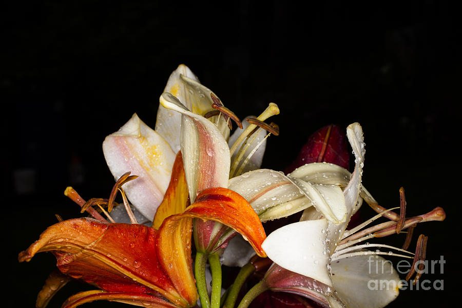 Gardening Photograph - Lilies In A Garden Macro by Victorkomissar