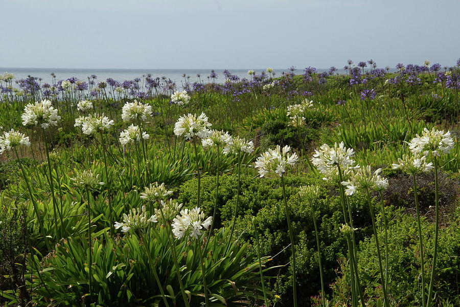 Lilies on the Sea by Marie Leslie