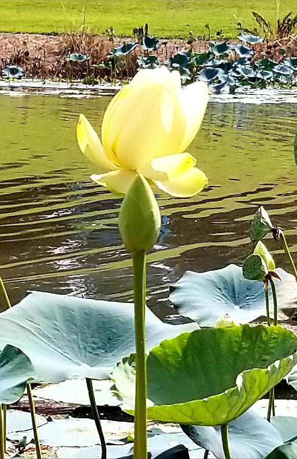 Lillies by Joe Roache