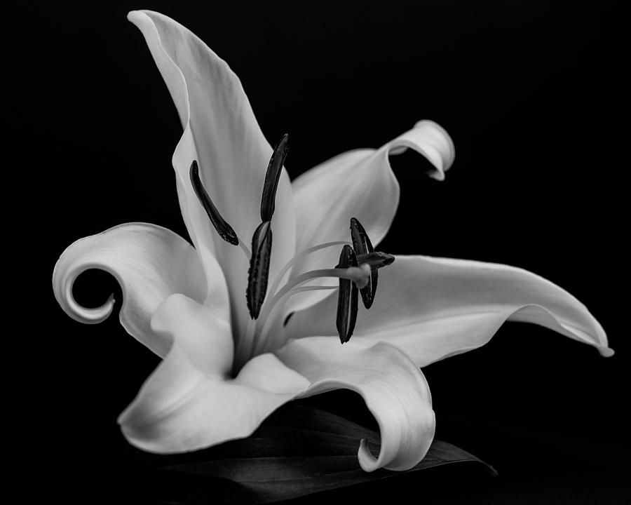 Lily 5750 bw by Pamela S Eaton-Ford