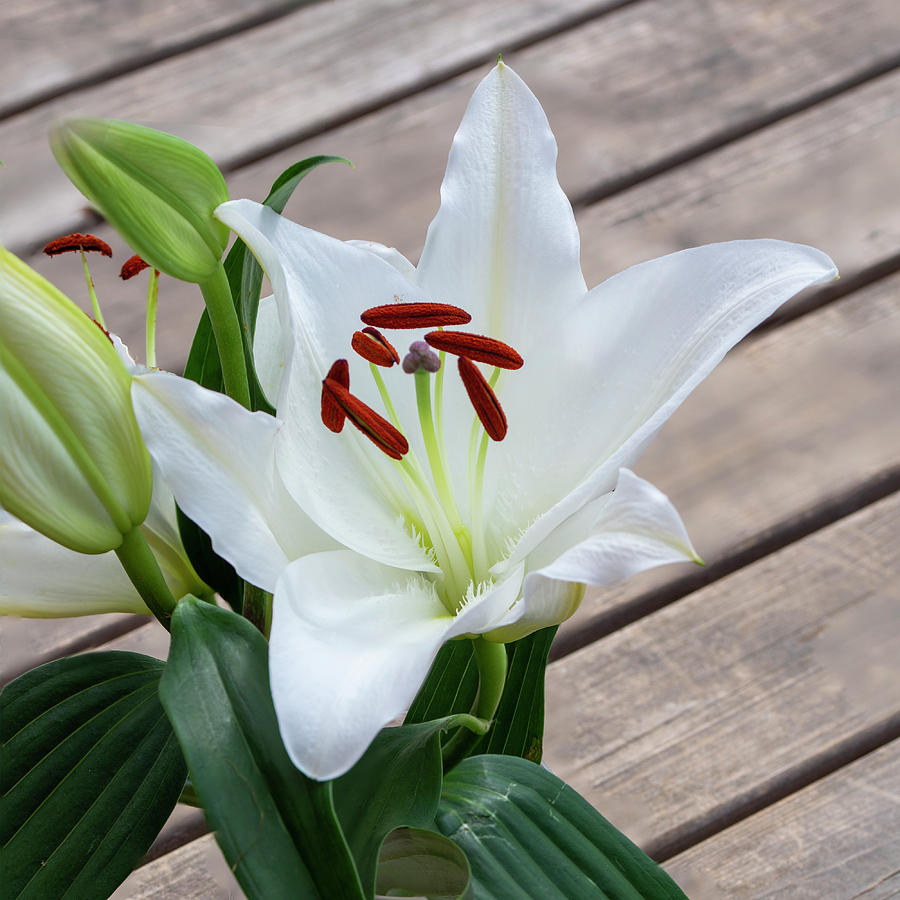 Lily Photograph - Lily Casa Blanca 1 by Steev Stamford