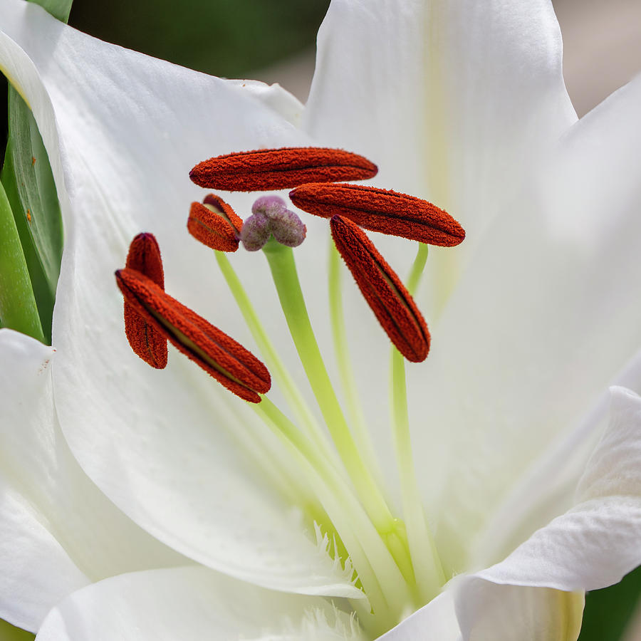 Lily Photograph - Lily Casa Blanca 3 by Steev Stamford