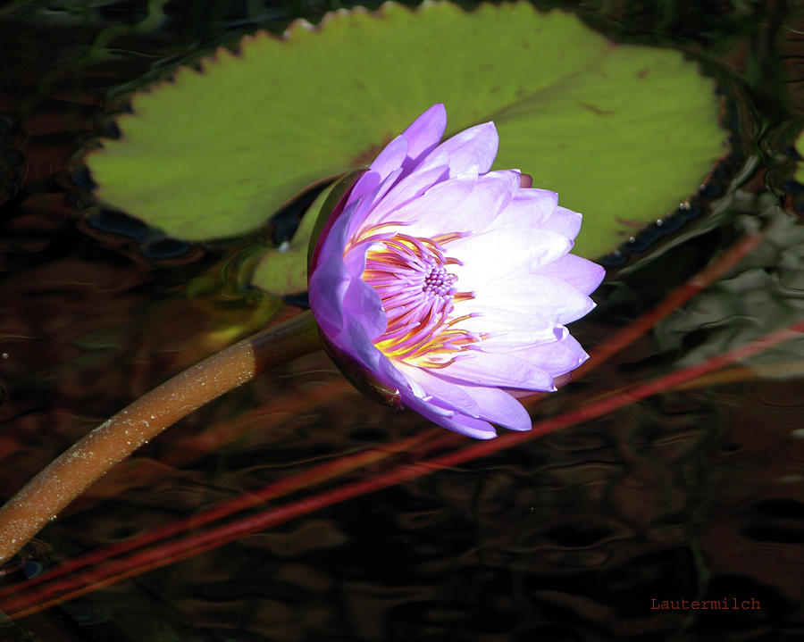 Water Lily Photograph - Lily Enjoying the Sunlight by John Lautermilch