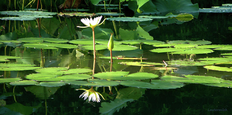 Lily Photograph - Lily in the Light of Morning by John Lautermilch