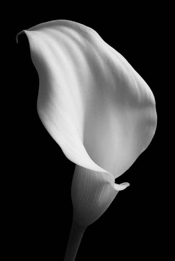 Still Life Photograph - Lily On Black 02 by Tom Quartermaine