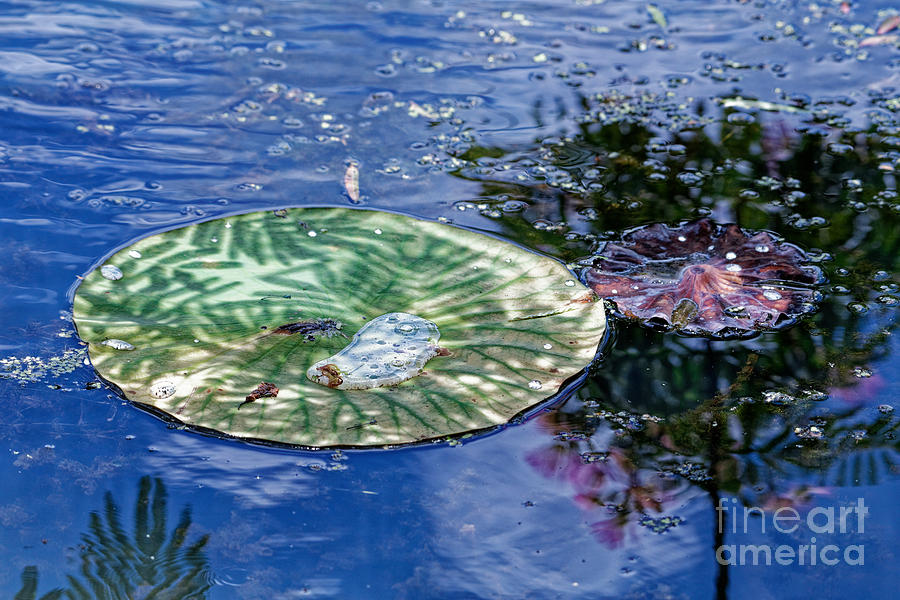 Lily Pad Reflection by Paul Mashburn