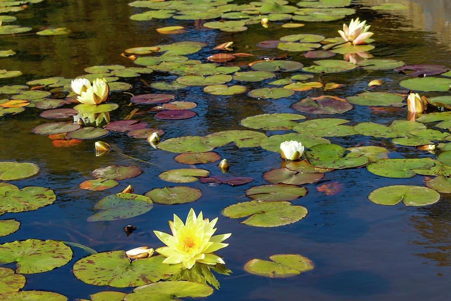 Lily Pond in Afternoon by Bonnie Follett