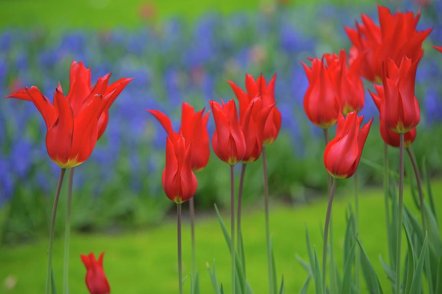 Lily Shaped Red Tulips of Keukenhof by Jenny Rainbow