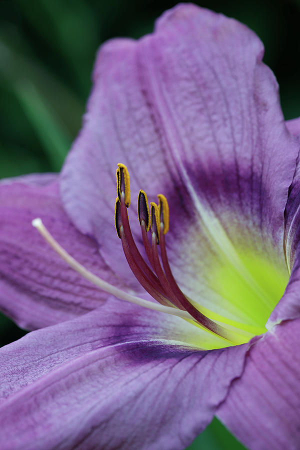 Flowers Photograph - Lily Study 3 by Mark Braun